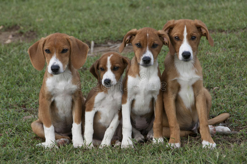 Four adorable brown puppies cuddled in green grass. royalty free stock photos