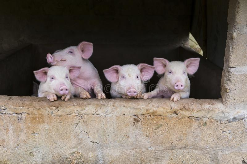 Four adorable excited young pink pigs standing huddled stock image
