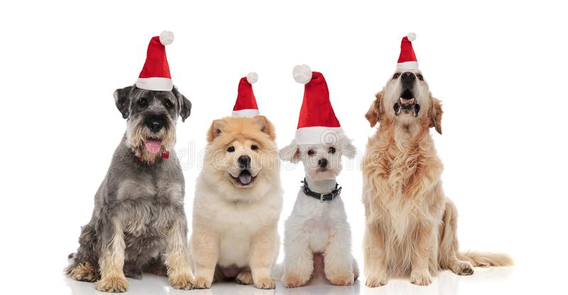 Four adorable santa dogs of different breeds sitting and panting stock photo