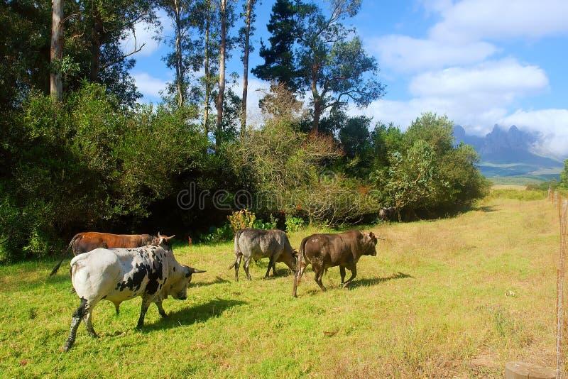 Four African Nguni bulls on pasture walk stock image