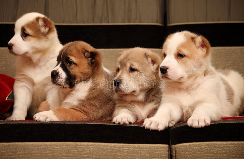 Download Four Alabai Puppy Sitting On The Sofa Stock Image - Image: 22723227
