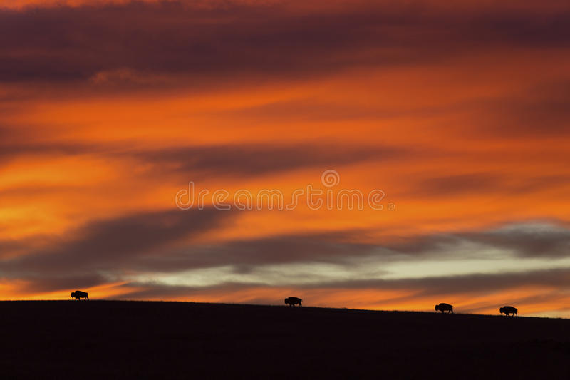four American bison at sunrise stock photo