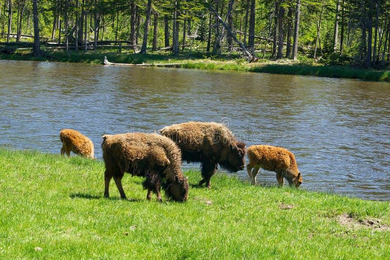 Four American Buffalo Graze royalty free stock photo