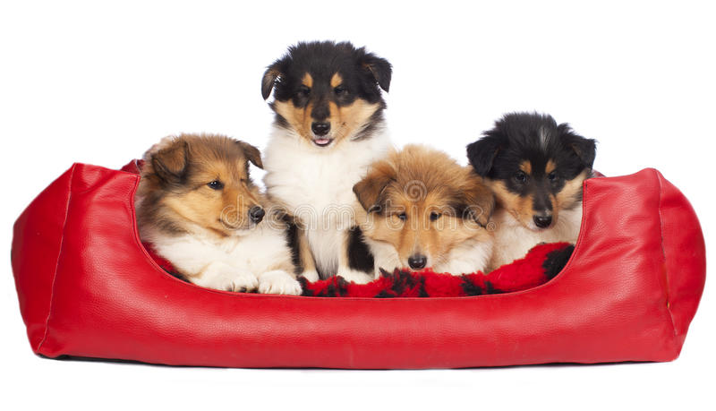 Four american collie puppies stock images