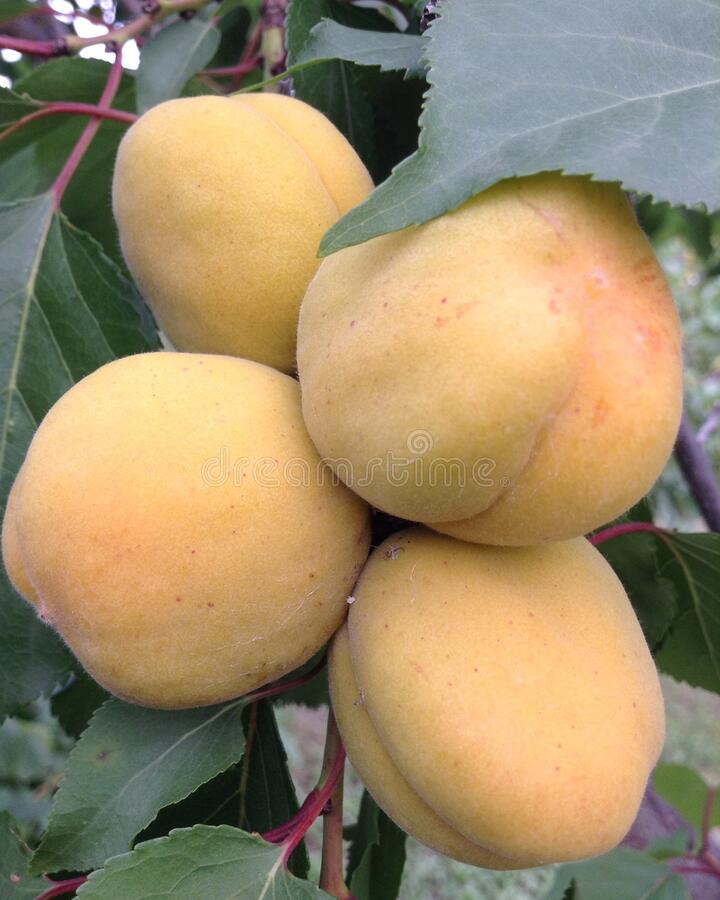 Four apricots on a branch. Growing apricots in the garden in Russia in the southern Urals. Green leaves in summer, gardening in summer. Apricots ripen royalty free stock photo