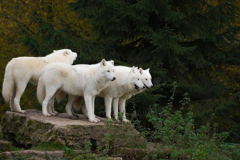 Arctic wolves - canis lupus arctos stock photo