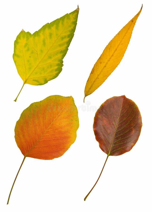 Four Autumn Leaves On White Stock Photo