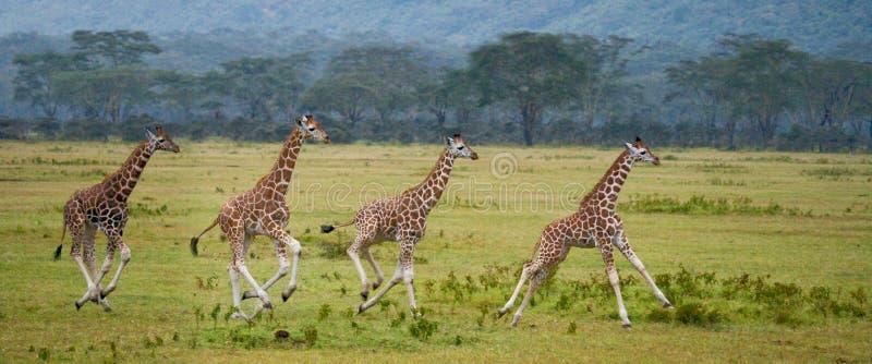 Four baby giraffe running across the savannah. Close-up. Kenya. Tanzania. East Africa. royalty free stock photo