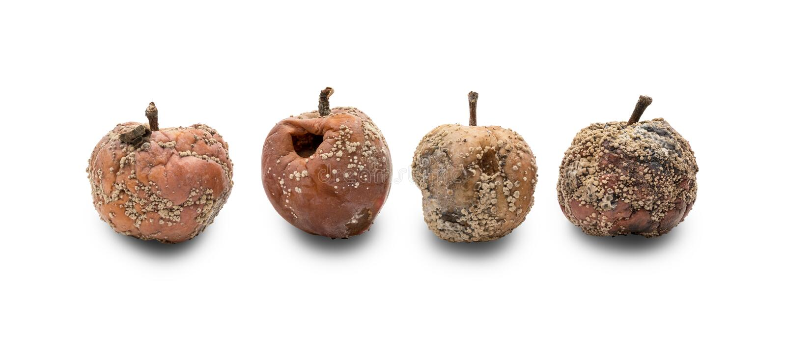 Rotten apples with fungus stock images