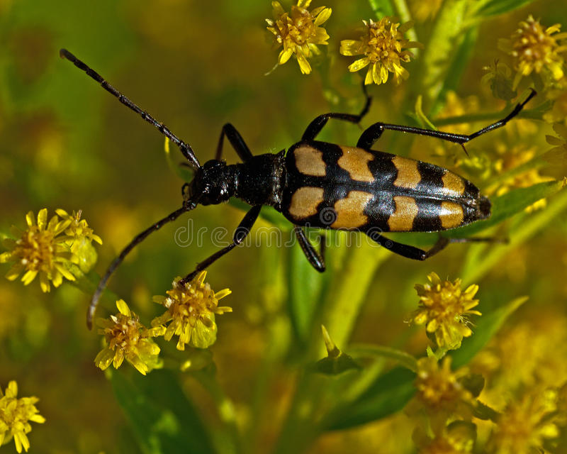 Four-banded longhorn beetle royalty free stock photography