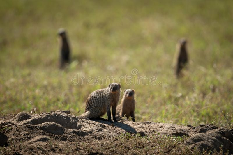 Four banded mongoose eye camera in sunshine royalty free stock image