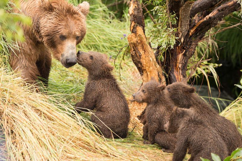 Four bear cubs greet mother beside tree stock photography