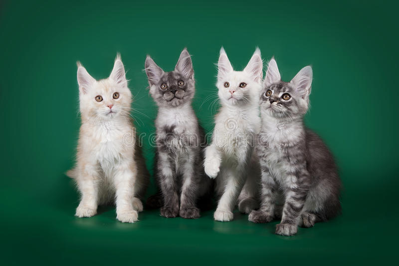 Four beautiful young kitten Maine Coons posing on studio green background. royalty free stock photography