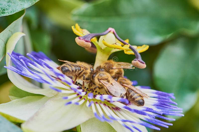 Bees collecting pollen on a passion flower, macro image. Four bees on common passion flower, macro color photo of passiflora caerulea royalty free stock photography