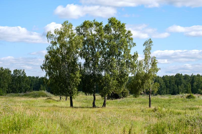 Four birches in the summer in a clearing with grass, blue sky and clouds. Trees on the field stock photo