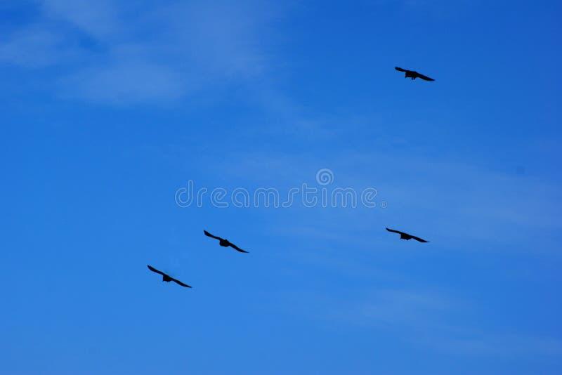 Four black birds soar in the blue sky stock images