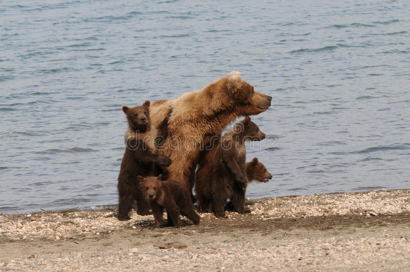 Four Brown Bear Cubs. And their mom on the beach at Katmai National Park royalty free stock photos