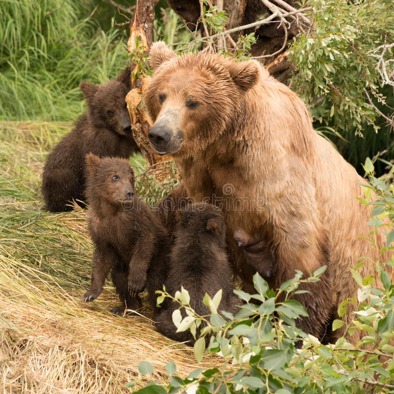 Bear Looking After Her Cubs. Stock Photo