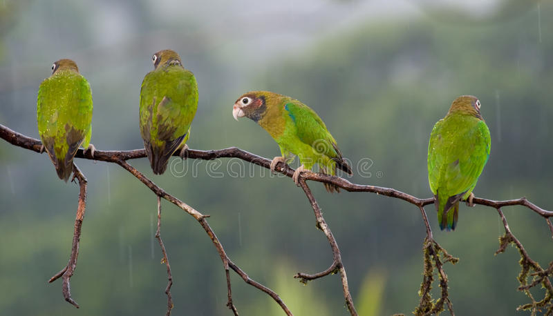 Four Brown-hooded Parrots in a branch stock photography