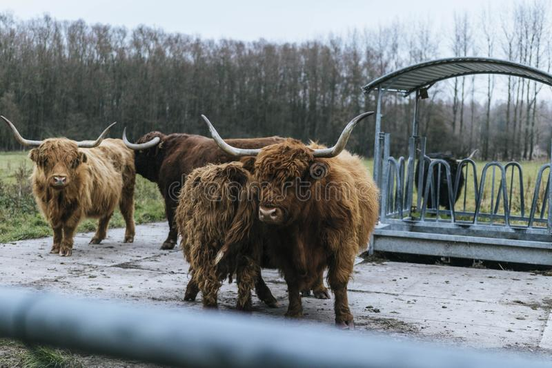 Four Brown Yaks Standing Near Shed Free Public Domain Cc0 Image