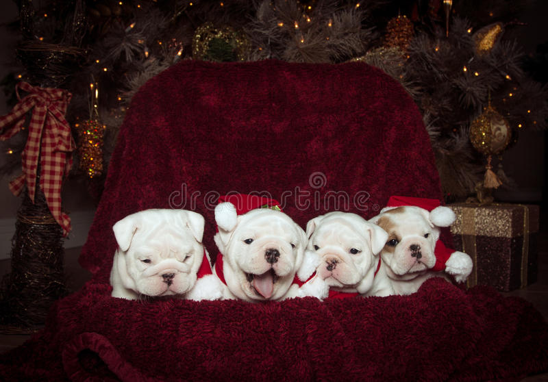 Four bulldog puppies at Christmas. Four bulldog puppies posing for their Christmas photo royalty free stock photography