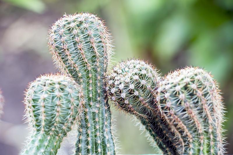 Four cactus bowed to each other. Selective focus royalty free stock images