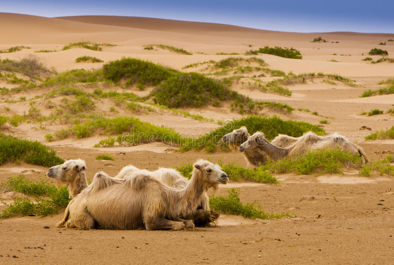 Download Four Camel In Desert Royalty Free Stock Photo - Image: 28395915