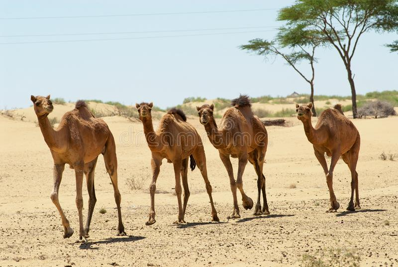 Four camels run in the Thar desert near Jamba, Rajasthan, India. royalty free stock images