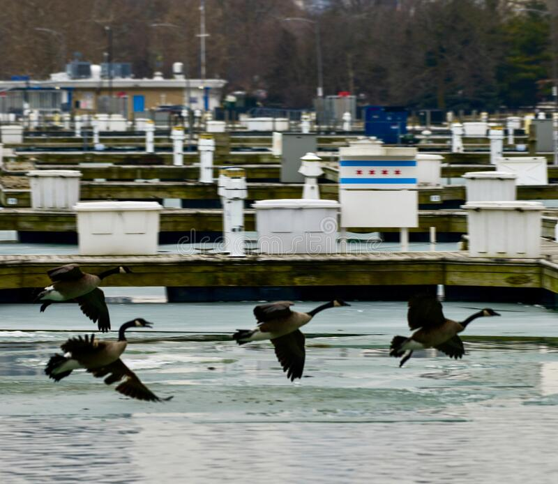 Four Canada Geese In Flight stock images