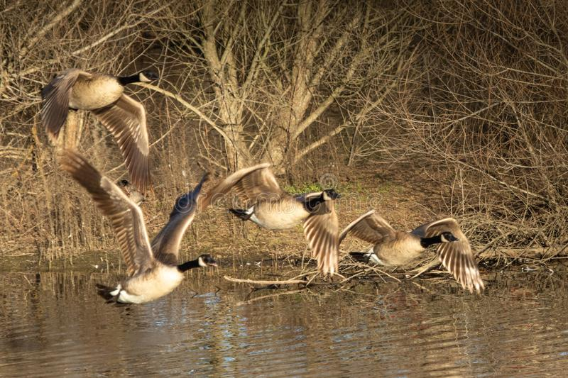 Four Canadian Geese fly past leafless trees. Four Canadian Geese fly from left to right with leafless trees in background. They fly over a pond reflecting the stock photo