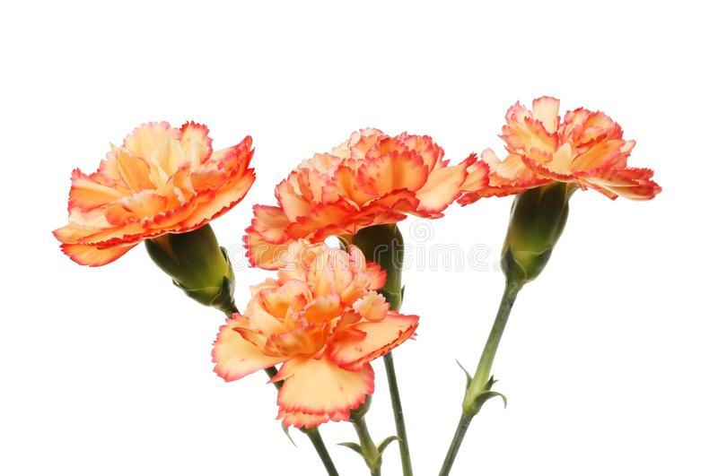 Four carnation flowers. Carnation flowers isolated against white stock photos