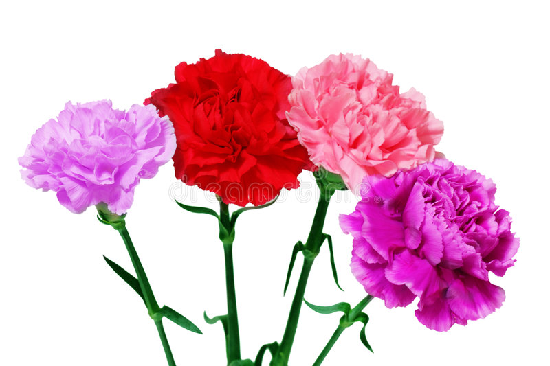 Four Carnations royalty free stock photography