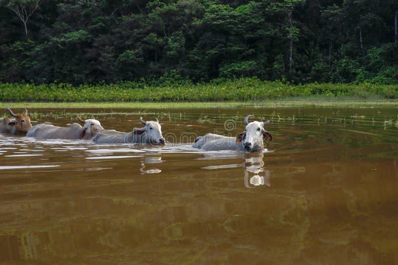 Swimming  cattle, Kaw Marsh, Marais de Kaw royalty free stock image