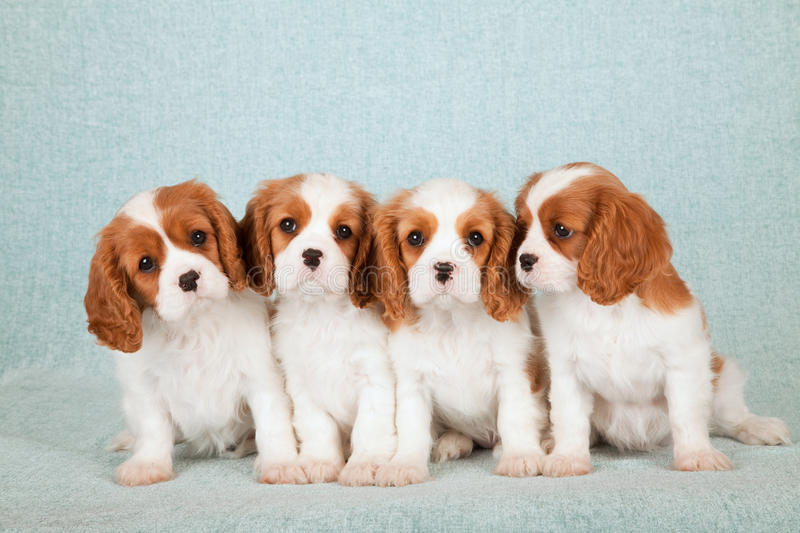 Four Cavalier King Charles Spaniel puppies sitting in a row on light blue green background stock photos