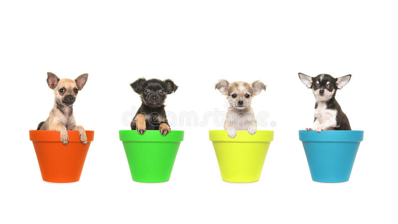 Four chihuahua puppy dogs sitting in colorfull flowerpots royalty free stock photos