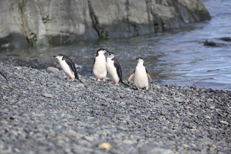 Four Chinstrap penguins in Antarctica