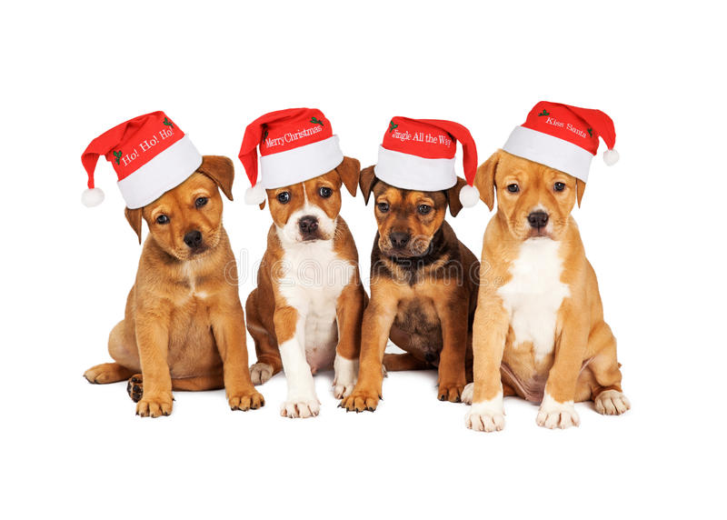 Four Christmas Puppies Together. Four adorable eight week old mixed Shepherd breed puppy dogs wearing Christmas Santa Hats stock photography