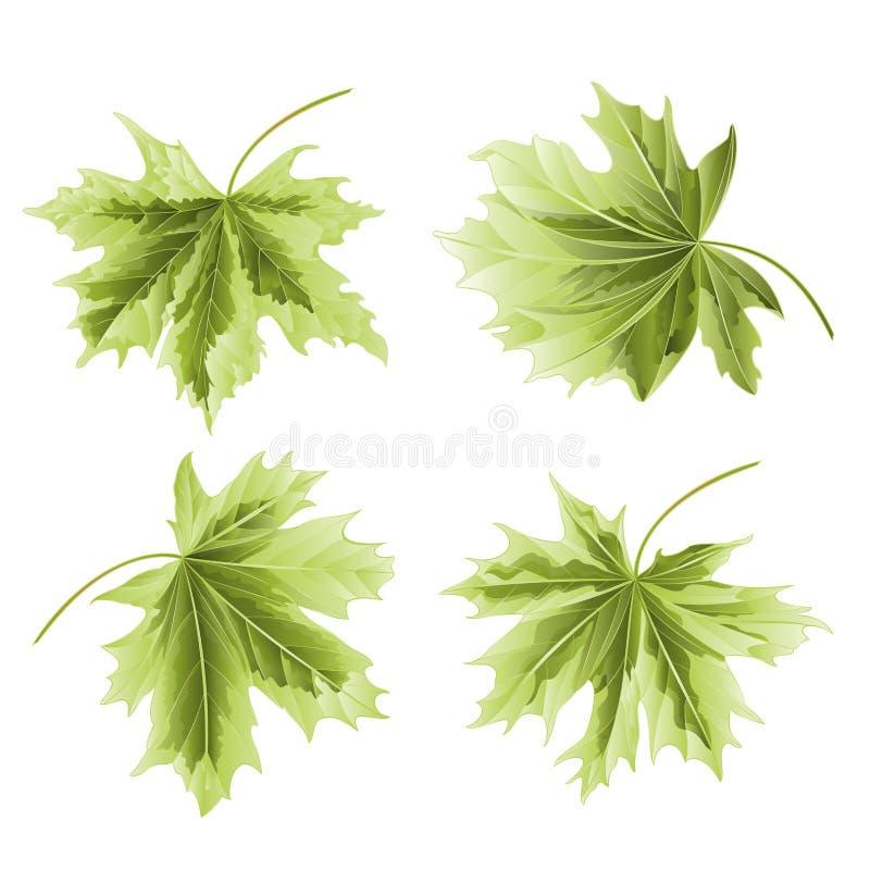Four Colored leaves Maple the green background vintage vector botanical illustration editable stock illustration