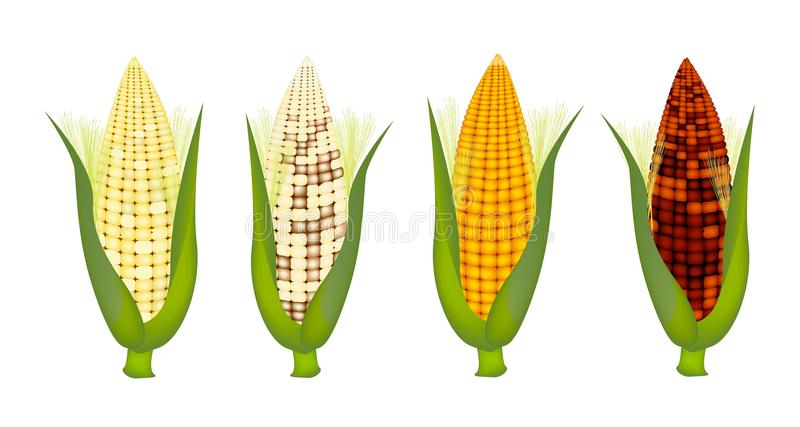 Four Colors of Fresh Corn with Husk and Silk. Four Different Colors of Fresh Corns with Green Husk and Golden Silk, Purple, Yellow, White and Light Yellow stock illustration