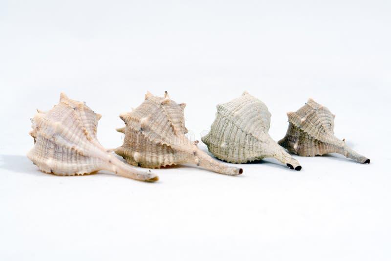 Four Conch Seashells Stock Photo