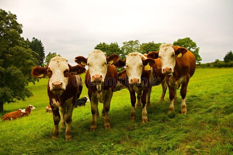 Four cows royalty free stock photos
