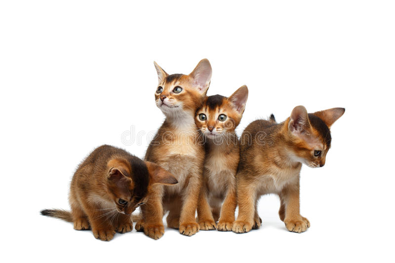 Four Cute Abyssinian Kitten Sitting on Isolated White Background stock images