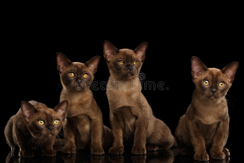 Four Cute Burma Kittens Sitting, Isolated Black Background. Four Cute Burma Kittens Sitting and Curious Looking in Camera, Isolated Black Background, Front view royalty free stock photo
