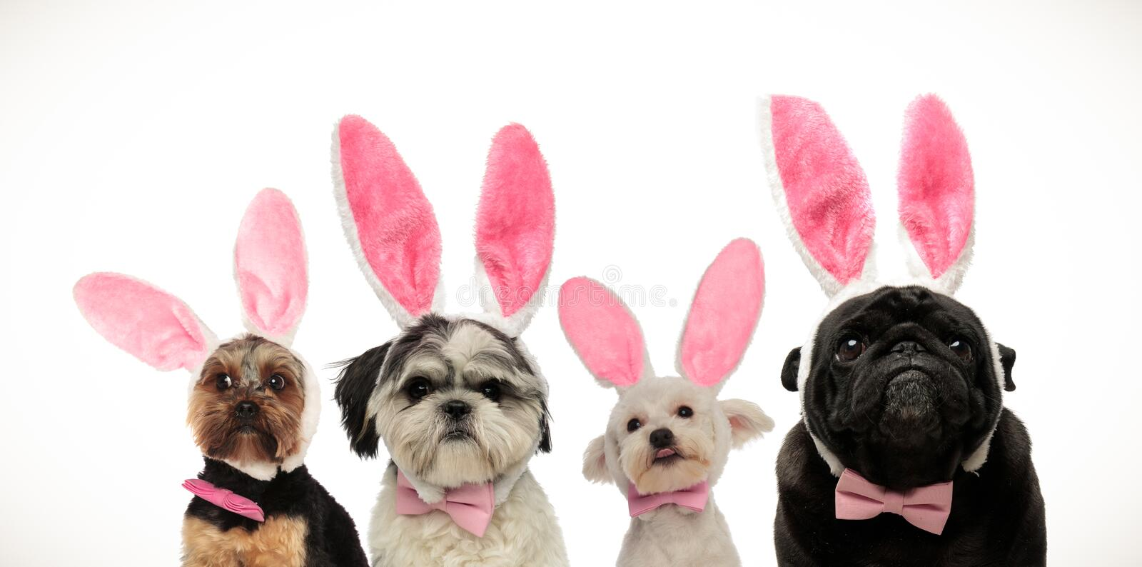 Four cute little dogs wearing bunny ears for easter. Team of four cute little dogs wearing bunny ears for easter, on white background royalty free stock photos