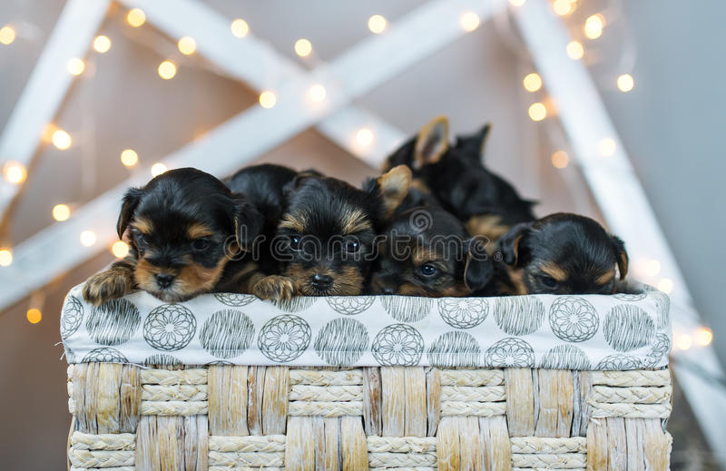 Four cute little Yorkshire terrier dog puppies in a basket. Four cute little Yorkshire terrier dog puppies resting in a basket. Shallow depth of field stock photo