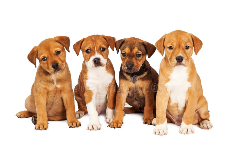 Four Cute Puppies Together. Four adorable eight week old mixed Shepherd breed puppy dogs sitting together in a row royalty free stock images