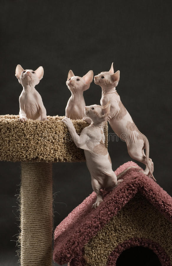 Free Four Cute Sphinx Kitten Royalty Free Stock Images - 11041139