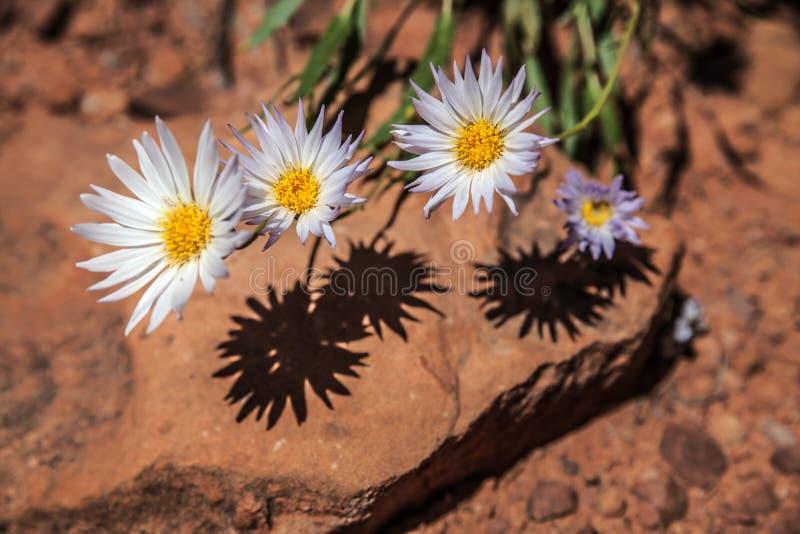 Four daisies and their shadows, Canyonlands, Utah royalty free stock photos