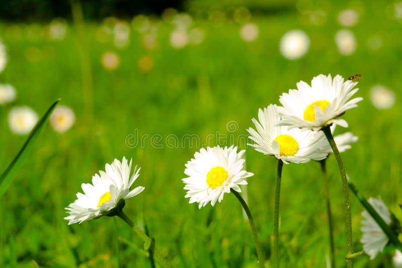 Four Daisy Close-up Royalty Free Stock Photo