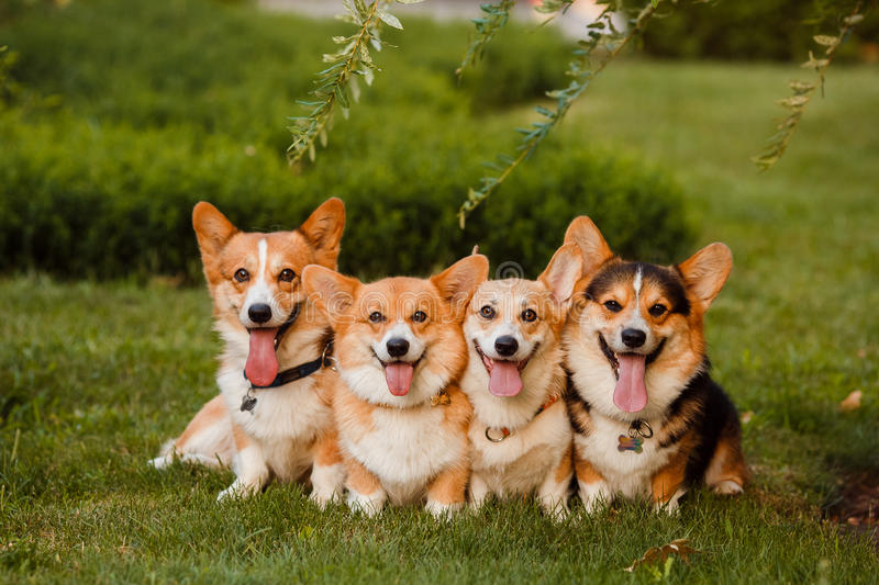 Four dogs breed Corgi in the Park royalty free stock photography